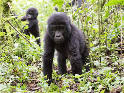 Baby gorilla walking through the forest