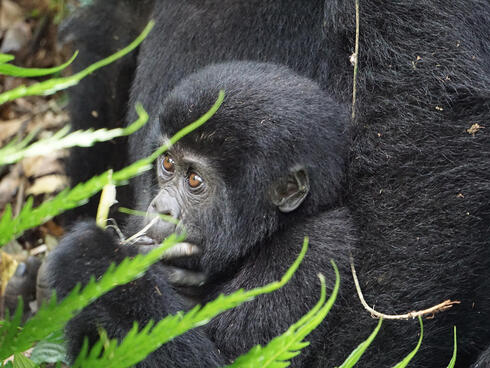 The Great Apes of Uganda
