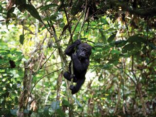 Bay gorilla in tree facing camera