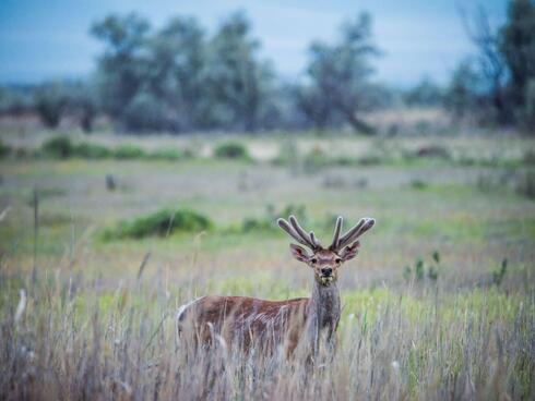 A Bactrian deer standing in a field.