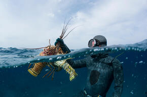 A fisherman catches lobster in the Bahamas