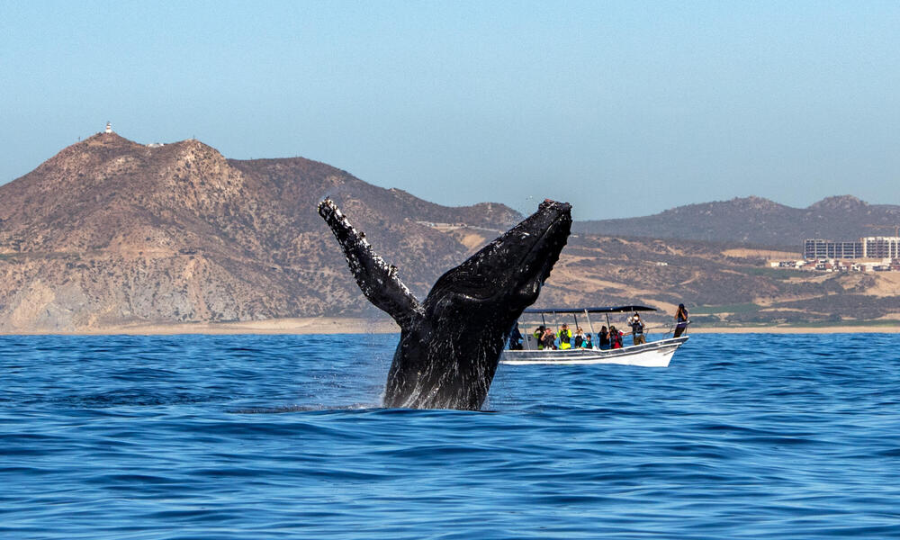 Whale breaching in the Baja Coast