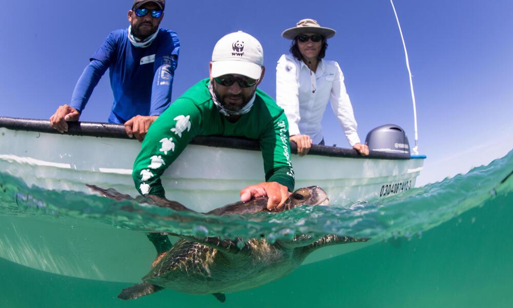 Baja Mexican Peninsula Trip - Sea Turtle Swimming