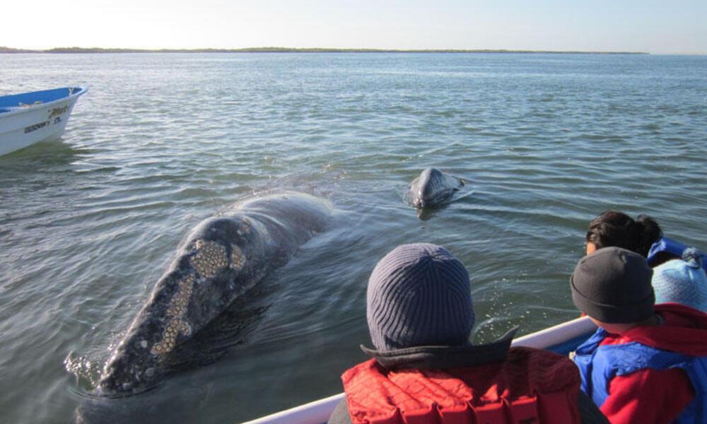 Baja Mexican Peninsula Trip - grey whales breaching