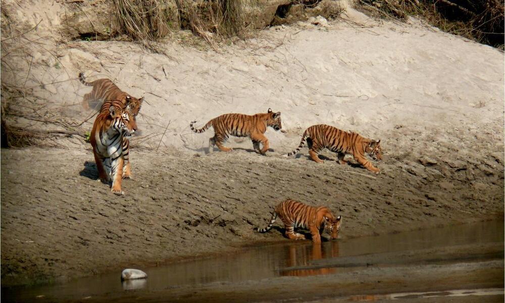 Bardia tigers near river