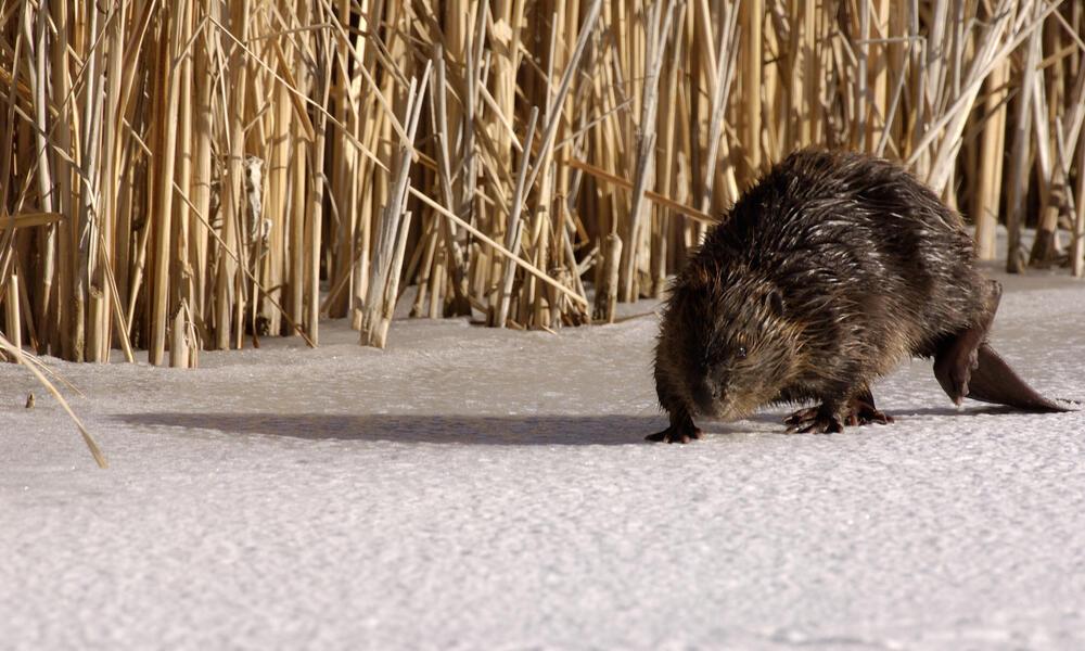 beaver on snow