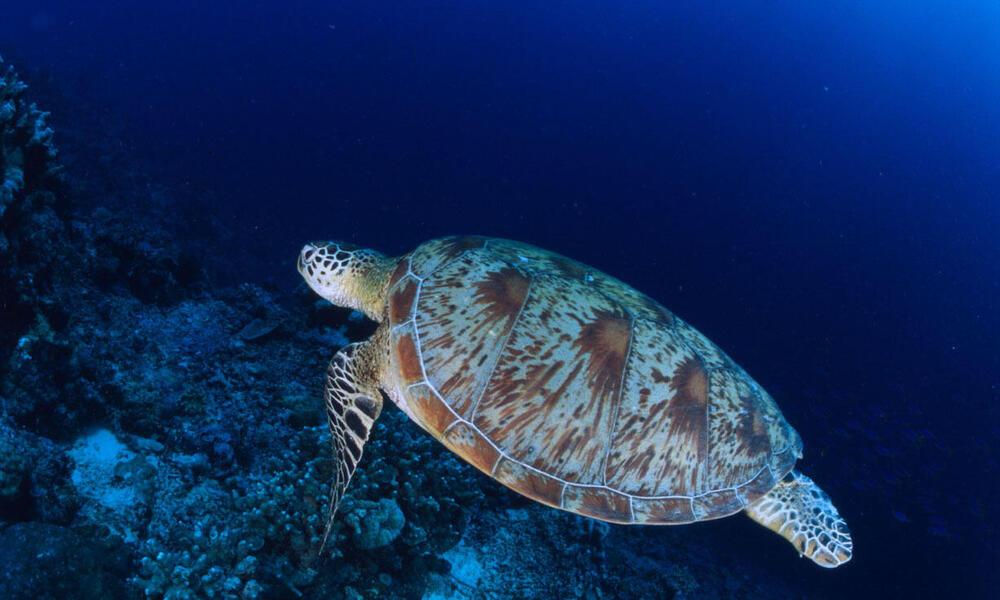 Chelonia mydas Common green turtle Swimming Indo Pacific Ocean.