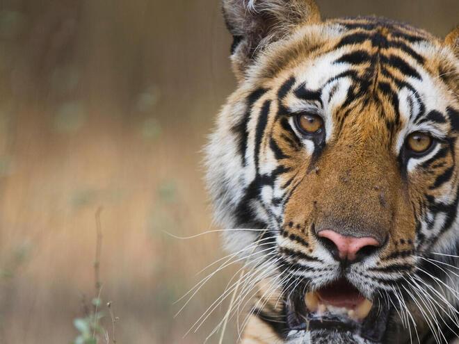 Bengal tiger on a creek bank