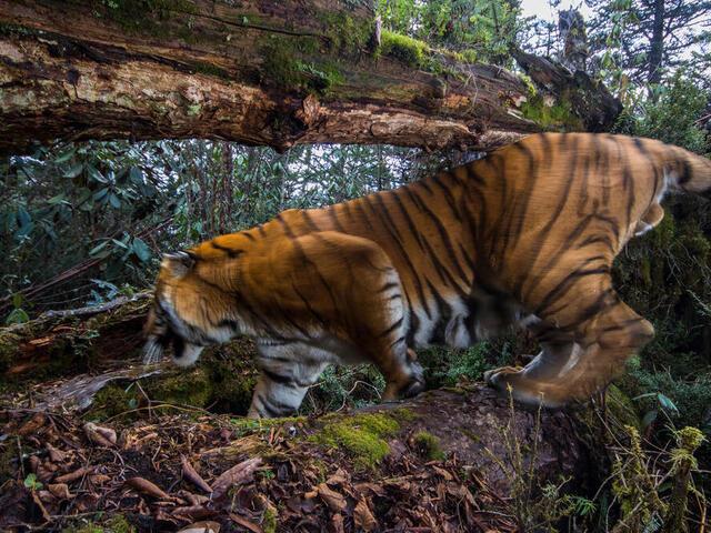 A wild Bengal tiger in Trongsa district, Bhutan.