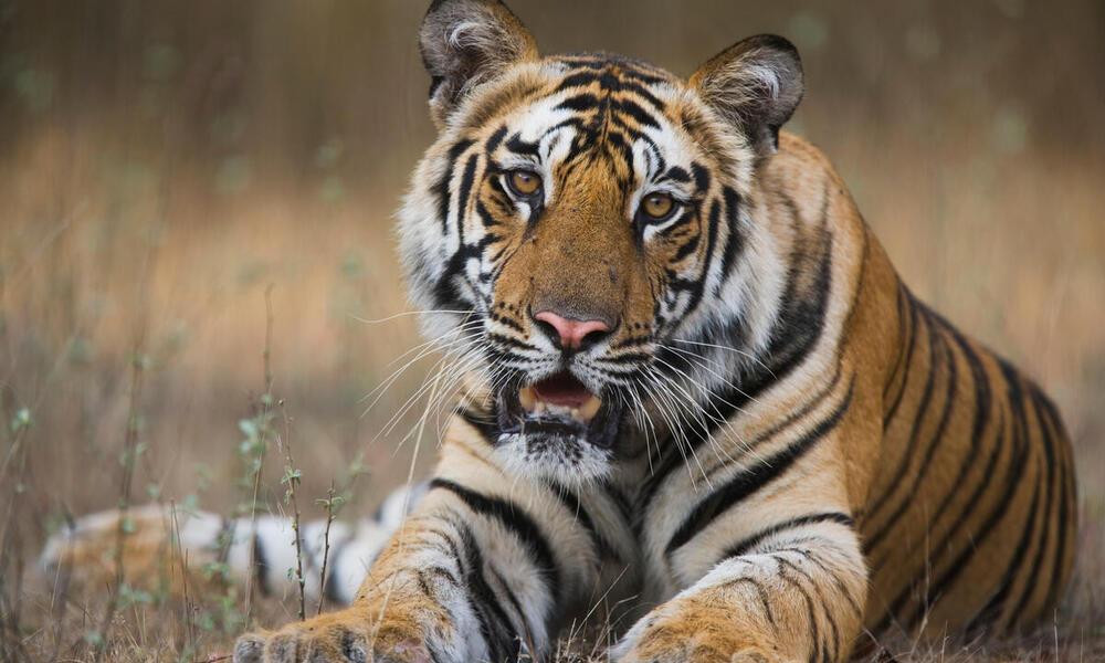 A Bengal tiger in Bandhavgarh National Park, India