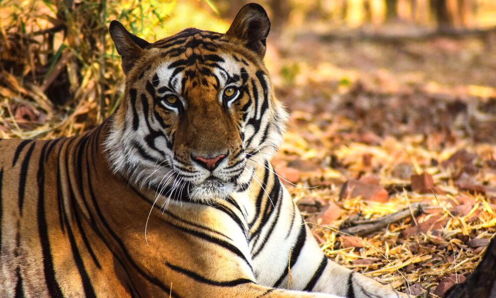 Bengal tiger (Panthera tigris tigris) in the Kanha National Park, India