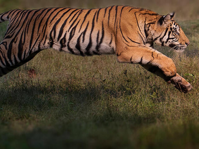 Bengal tiger leaping towards brother
