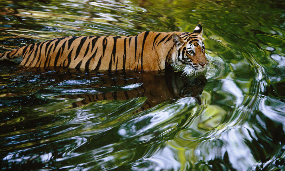 Bengal tiger wading across a creek in India