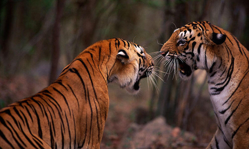 Bengal tigresses snarling, about to fight over territory