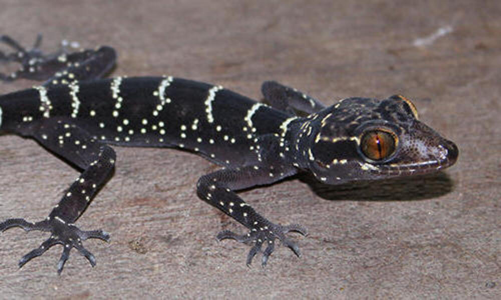 bent-toed gecko