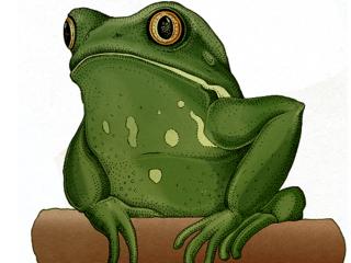 Big Frog Smaller Waxy Tree Frog Magazine Spring 2018