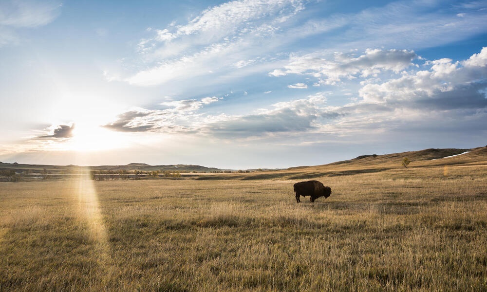 bison in a field