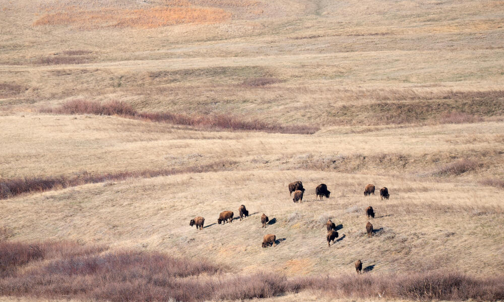 Bison in Badlands from a distance