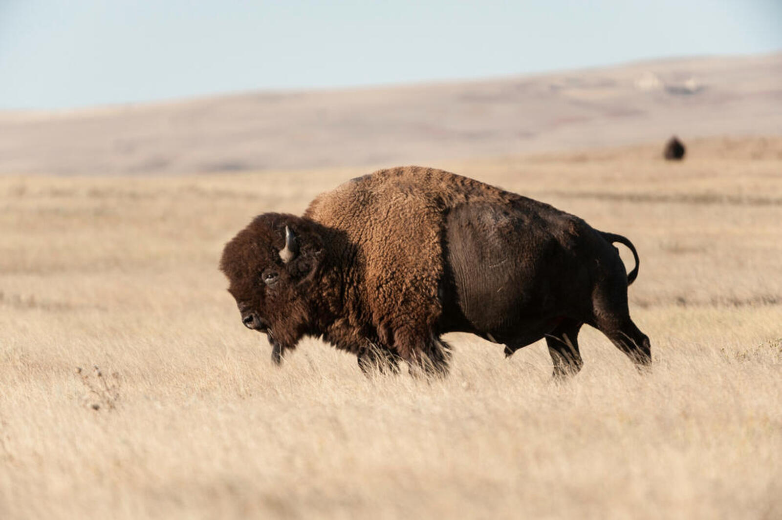 A lone bison on the Fort Peck Tribes Cultural Buffalo Herd Ranch Facility