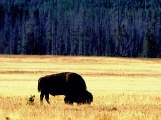 Bison on plains