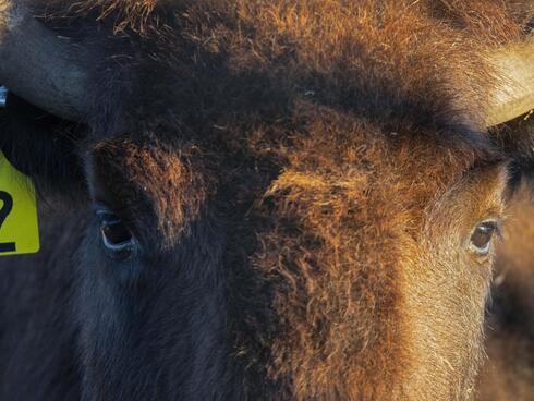 Close up of a bison eye and ear tag