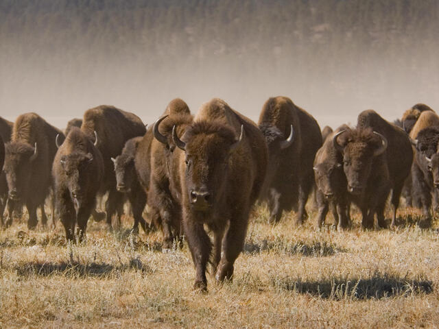 A herd of bison walking towards the camera.