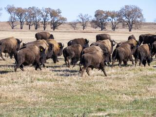 Bison walk out into a brown field