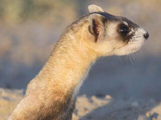 black footed ferret in the daytime