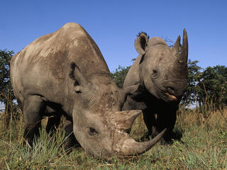 Two black rhinos in South Africa