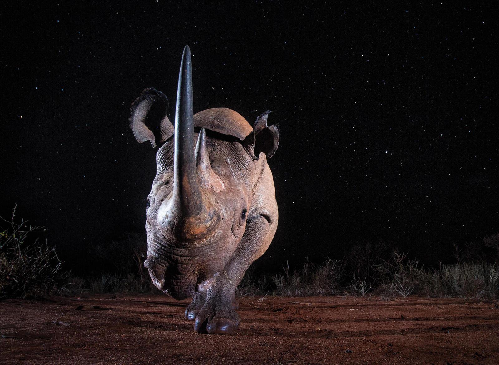 Black rhino facing camera at night