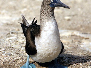 Blue footed booby in the Galapagos Islands
