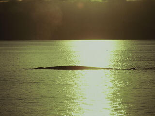 Blue whale at sunset