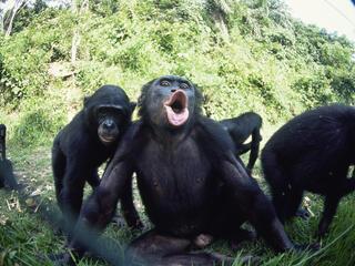 Bonobo A Unique Social Structure