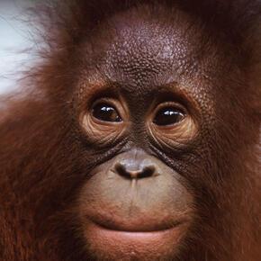 Borneo and Sumatra - Orangutan