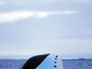 Bowhead whale, Nunavut, Canada