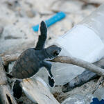 A baby turtle climbs on a plastic bottle on a beach