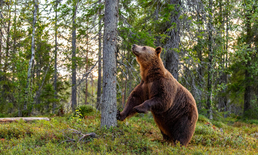 Brown bear standing by tree
