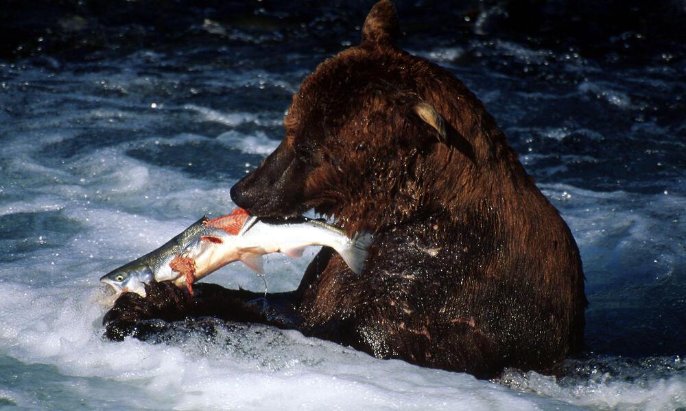 Brown bear (Ursus arctos); Katmai National Park, Alaska, USA / United States of America