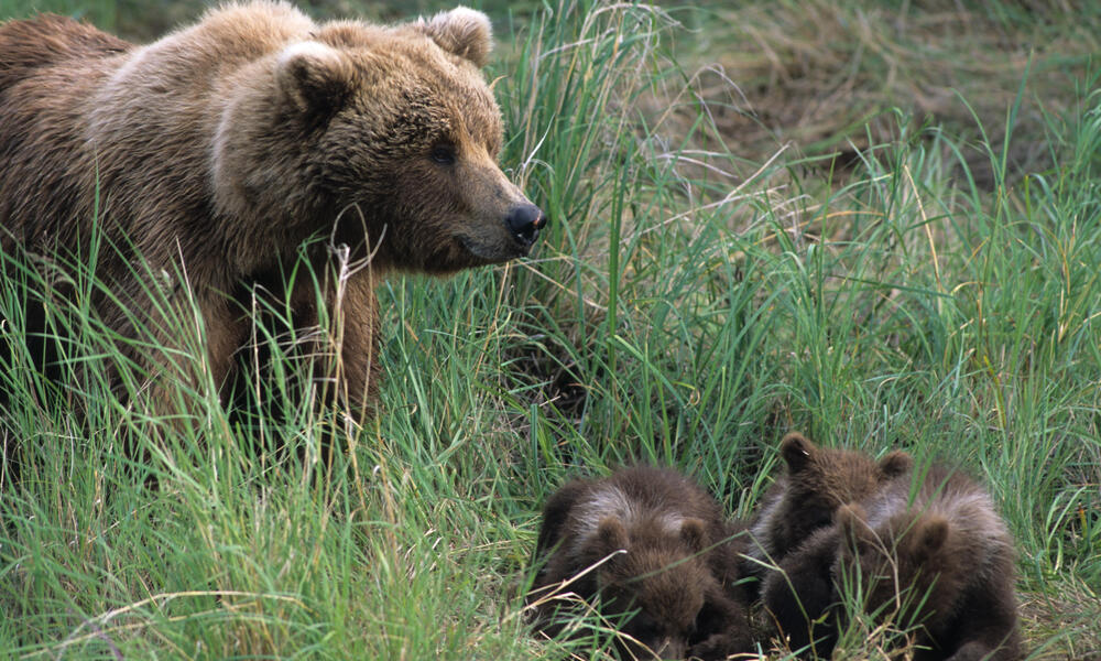 Brown Bear and Three Cubs