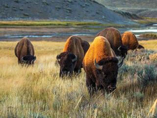 Buffalo grazing in high grass