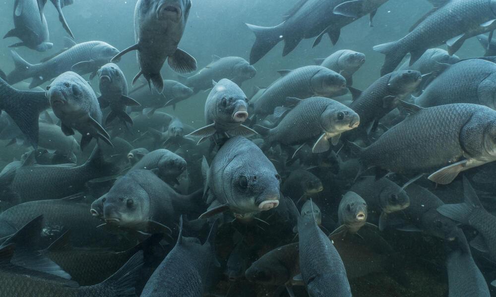 School of buffalo fish swim toward underwater camera