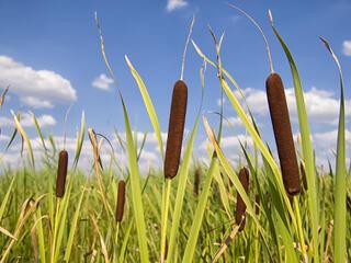 bulrush in field