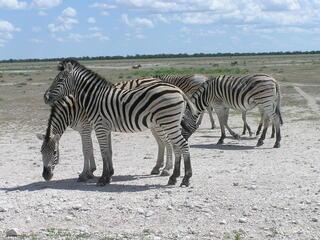 zebras on dirt