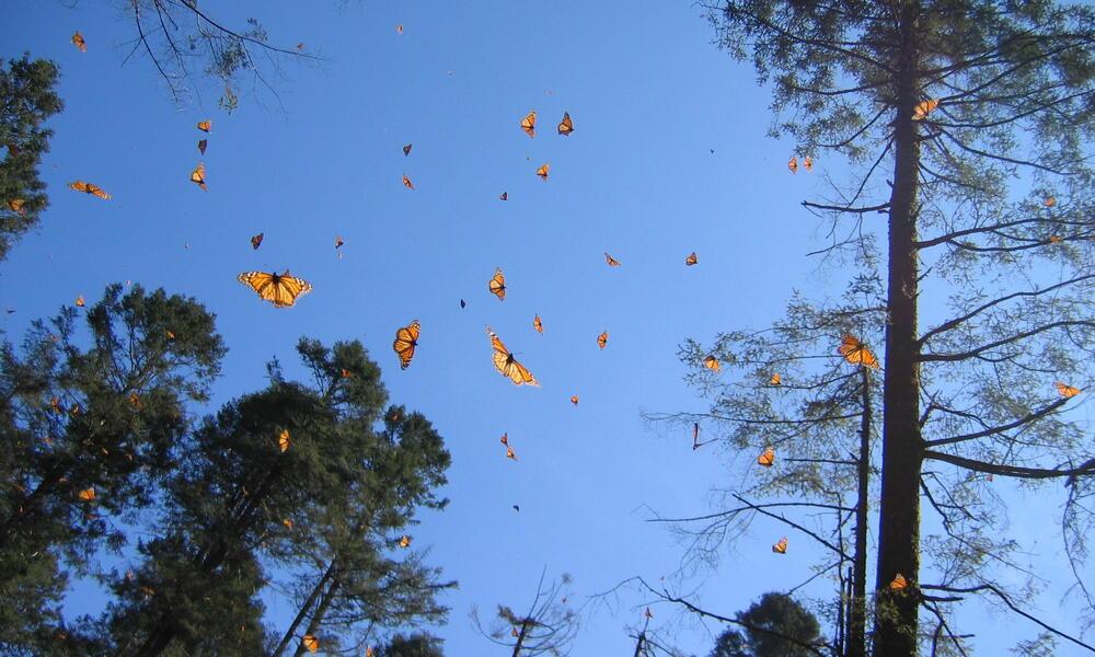 Butterflies flying through trees