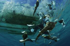 Gulf of California Bycatch