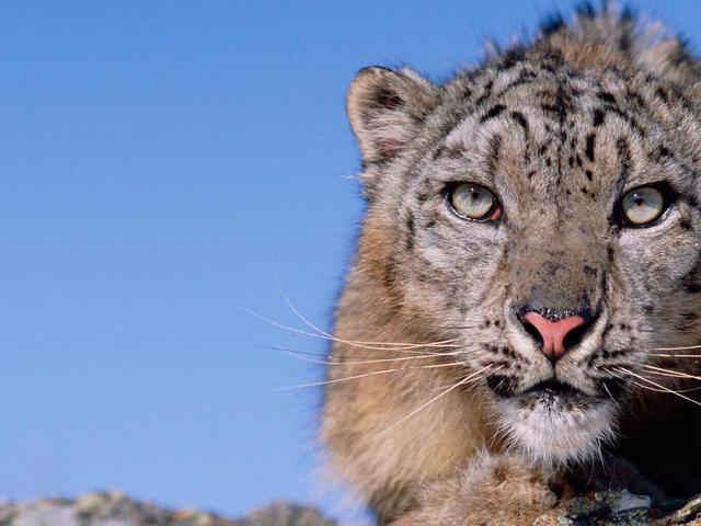 snow leopard on a rock