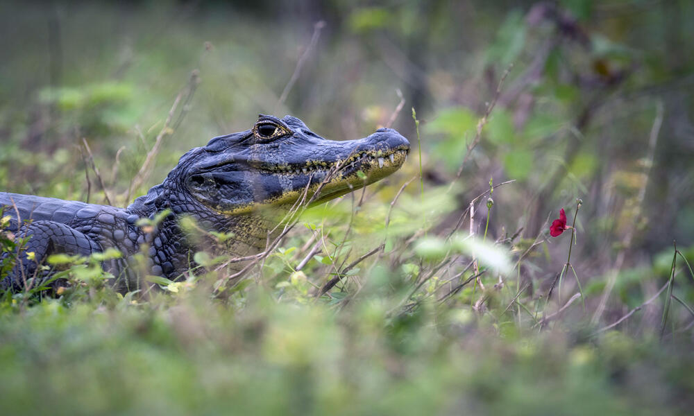 A caiman sits by a flower