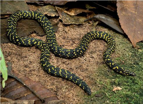 A snake with irregular yellow and purplish-black spots.