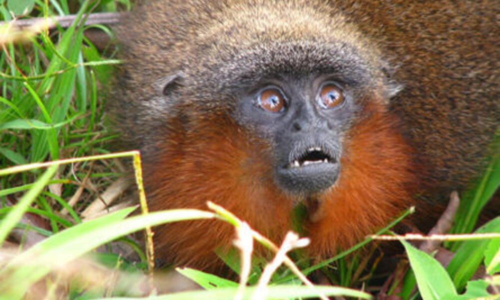 new amazon monkey