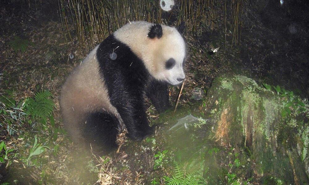 Camera trap panda